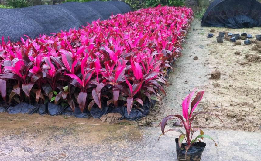 大量供应优质庭园室内盆栽绿植亮叶朱焦