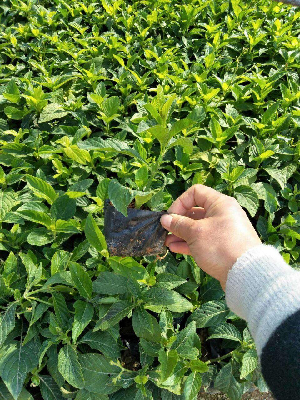 青州绿化苗木基地低价供应精品大花芦莉