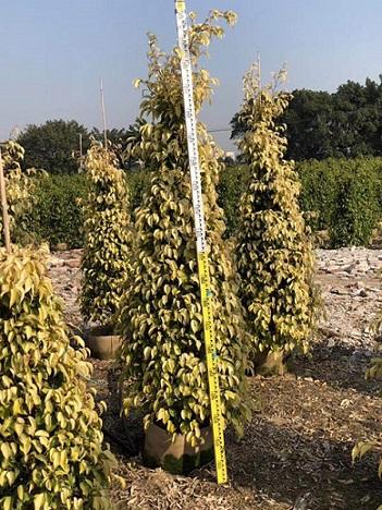 现货供应常绿灌木黄金垂榕 多规格供应