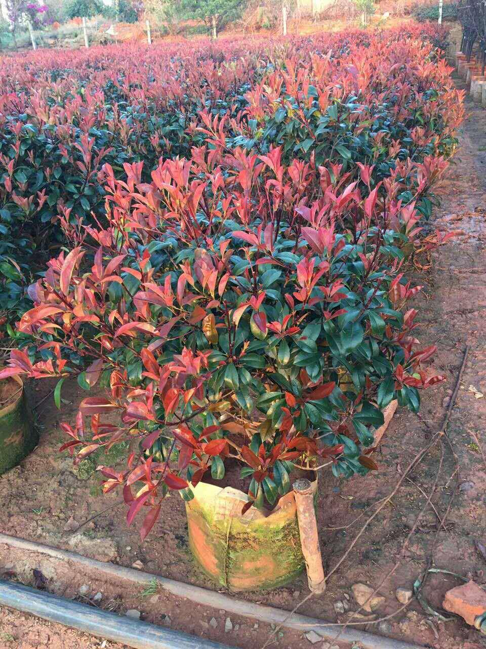 云南地区供应 红叶石楠  米径5公分