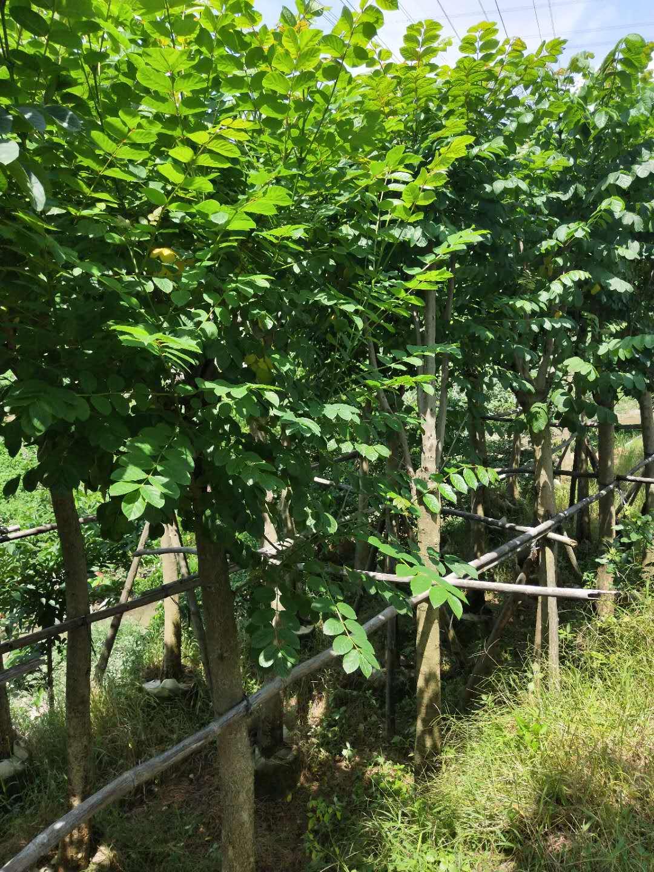 多规格大量供应优质绿化行道树火焰木袋苗