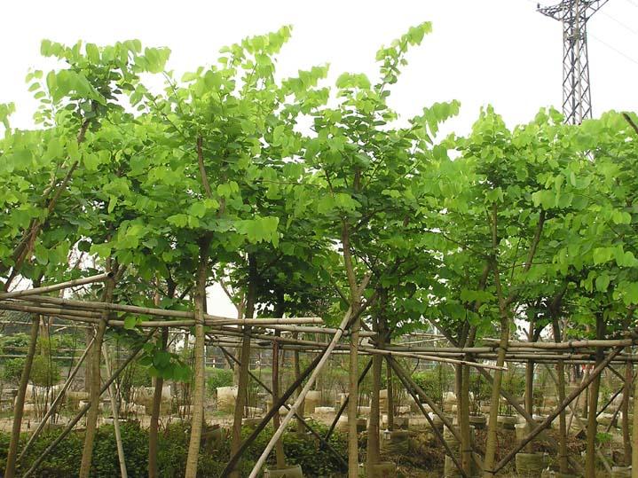 河南苗木基地批发供应常绿风景树红花紫荆