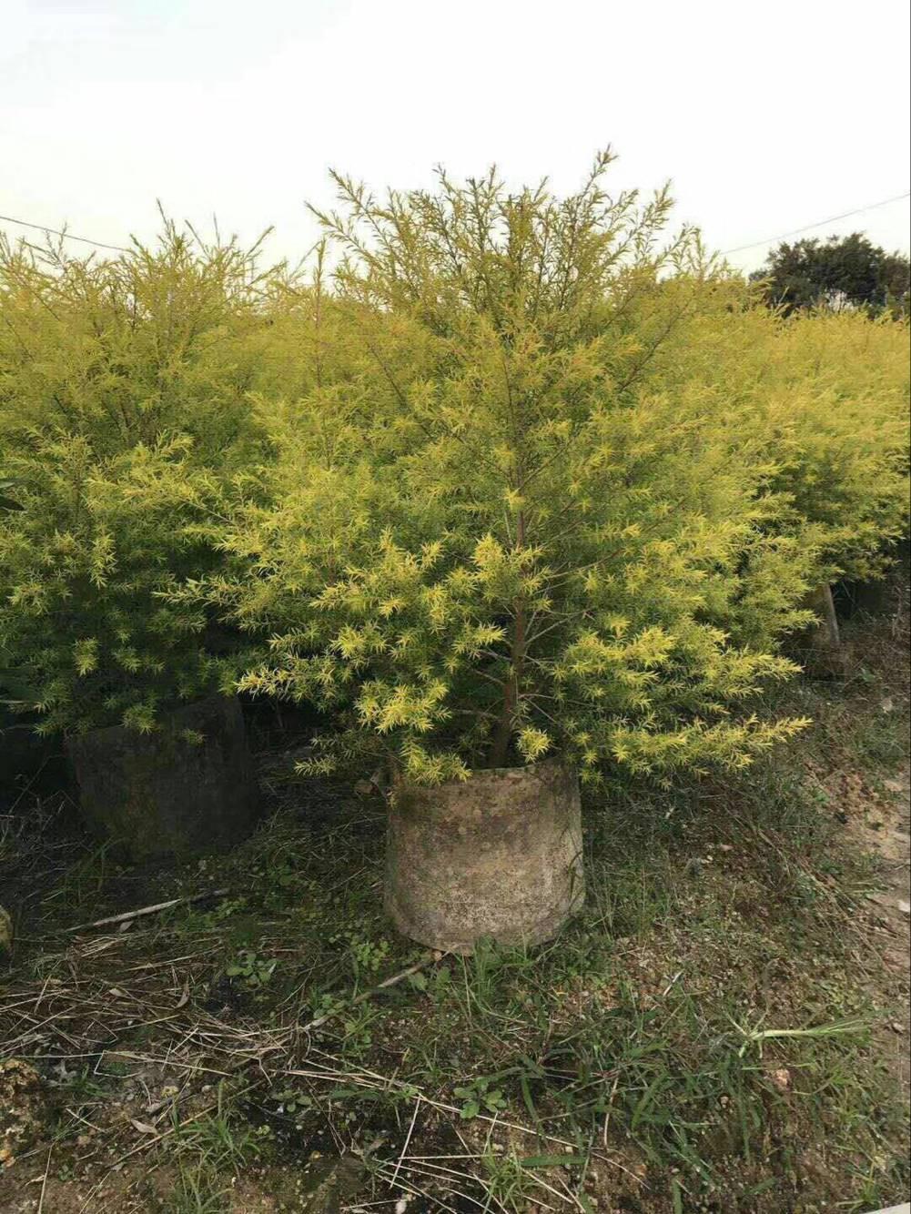 基地直销灌木类美化环境观叶绿植黄金宝树