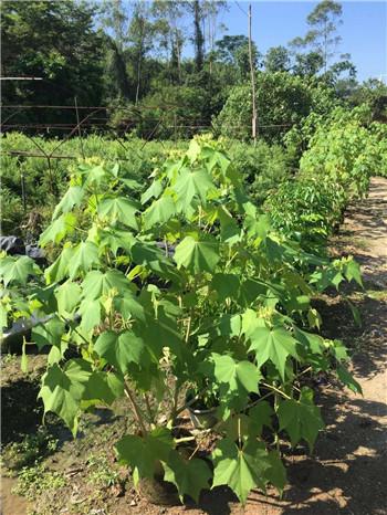 福建基地常年大量供应高60公分木芙蓉小苗