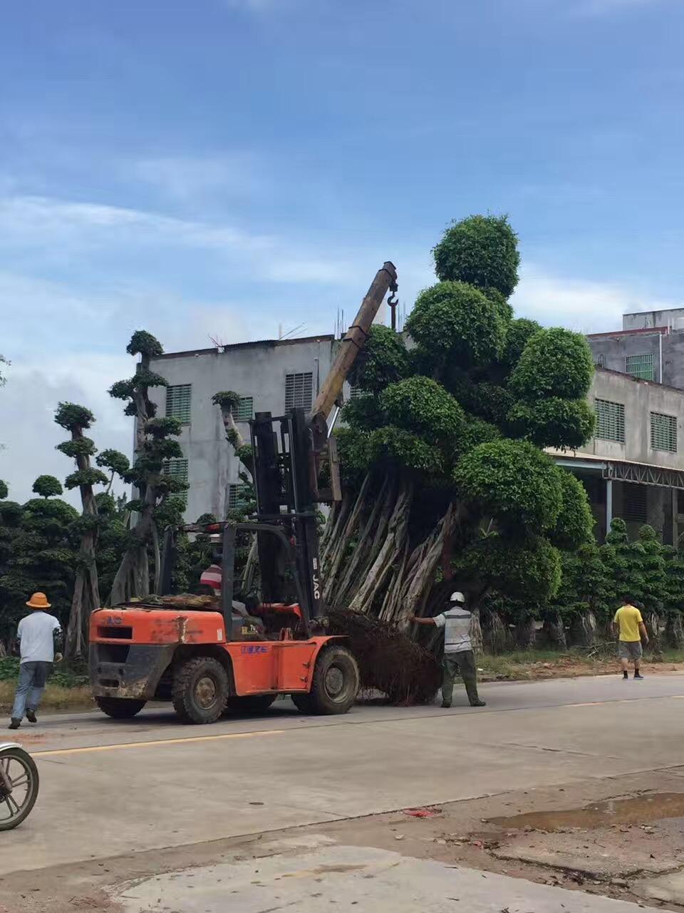 产地直销多年树龄易成活绿化树造型小叶榕