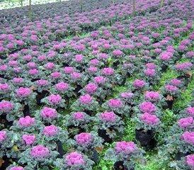 直销供应四季可种植观赏绿化植物羽衣甘蓝