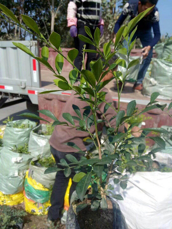 批发供应办公室桌面盆栽绿植七里香质优价廉
