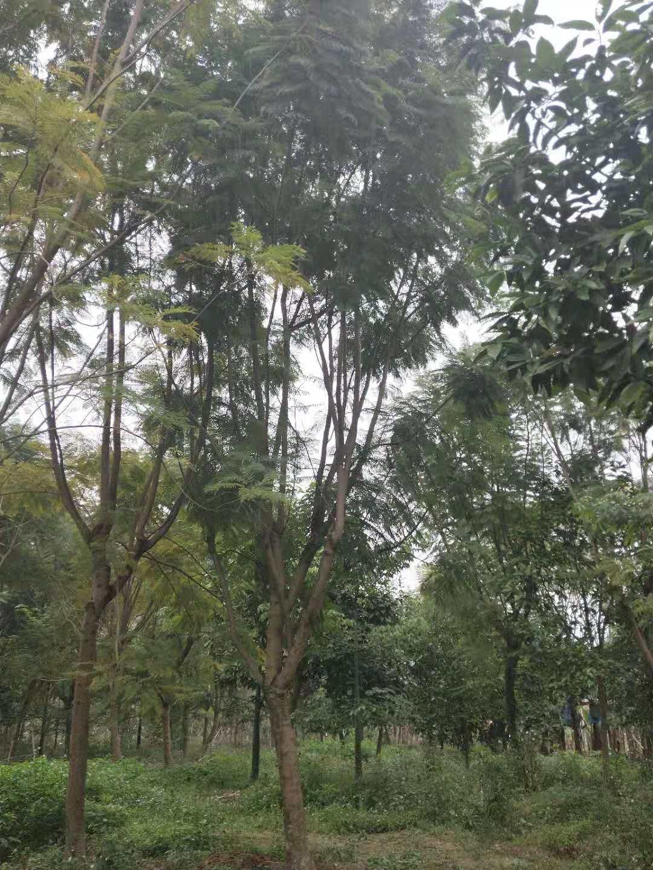 基地供应市政工程景观树蓝花楹 规格齐全