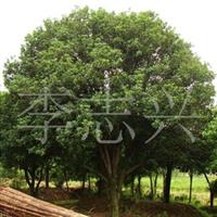 本苗圃长期供应6公分的桂花树绿化工程苗