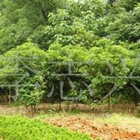 大量供应2cm的八月桂