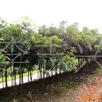 本苗圃长期供应3-4-5公分的桂花树