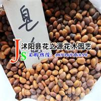 【种业公司】直销优质皂角种子 皂角籽大小粒 保质保量 货到付款