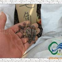 供应花卉种子《皂角种子》《再生力种子》皂角树种子价