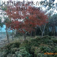 供应各种绿化苗木、各种乔木、鸡爪槭
