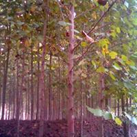 苗圃直销法国梧桐米径3-15公分