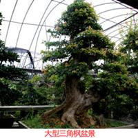 [独家] 供应大型三角枫盆景 各种优质造型盆景