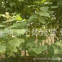 智豪苗圃供应绿化苗木梧桐  梧桐小苗