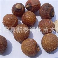 无患子净种子 木患子 油患子 黄金树 苦患树 圆皂角种子