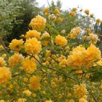 优质、良种漂亮的黄花槐