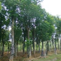 供应骨架移植三年黄山栾树胸径25--30--35公分栾树苗木 绿化苗木