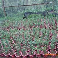 供应红豆杉小苗 红豆杉种子 沙藏红豆杉两年种子