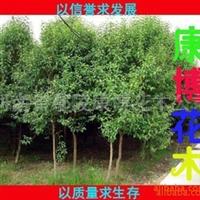 供应三角枫 五桷枫  栾树  合欢