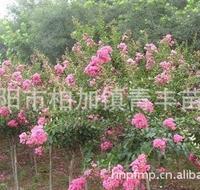 大量低价供应绿化苗木紫薇树