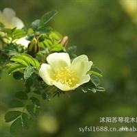 黄刺玫 黄刺玫苗 绿篱 带刺的玫瑰花