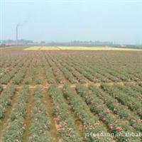 江苏沭阳苗木基地产地直销黄杨,冬青,女贞,龙柏,木槿等小苗