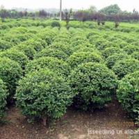 苏北苗木基地直供多种绿篱类小苗,女贞,黄杨,红叶小檗,卫矛