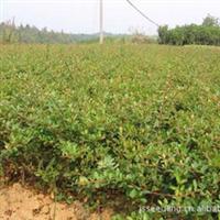 产地直销大量供应火棘,女贞,连翘,迎春,等工程绿化苗木