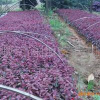 璇丰苗圃大量供应红花桎木扦插苗