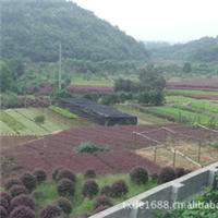 秋季热卖绿化工程用苗红花继木红桎木