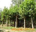 供应各种规格法桐.5-50cm.绿化苗木