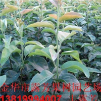果树早熟翠冠梨树苗、中熟圆黄梨树苗、晚熟黄花梨苗木、梨苗