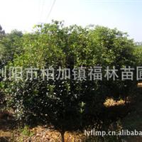 长期现货供应各种规格桂花 四季桂 汉桂 桂花树