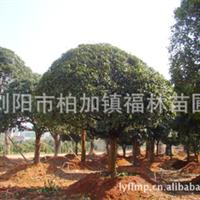 浏阳柏加福林苗圃长期供应各种规格桂花树