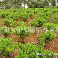 福林苗圃专业批发供应大量园林绿化植物四季青 价格合理成活率高