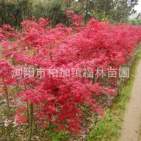 浏阳市福林苗圃出售规格齐全品种纯正色泽鲜艳优质红枫