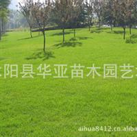 出售草坪种子早熟禾、高羊茅、黑麦草、狗牙根、剪股颖