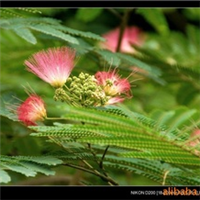 供应-黄杨-合欢-木香树