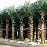 大量销售棕榈~ 红麻团~ 月季