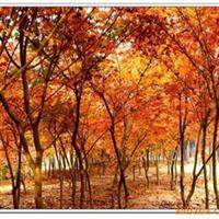大量供应-  优质红枫-银杏
