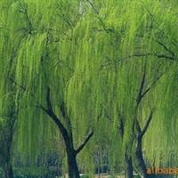 大量供应-优质柳树-垂柳