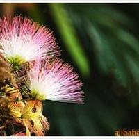 供应-合欢树-合欢种子-又名(绒花树)