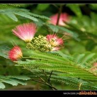 供应-合欢树-合欢种子-又名(绒花树)厂