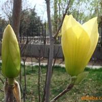 供-绿化苗木-花木-黄玉兰-广玉兰-紫、红、白玉兰
