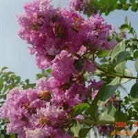 供应-绿化苗木-大叶女贞-紫薇-紫叶李-丁香-樱花