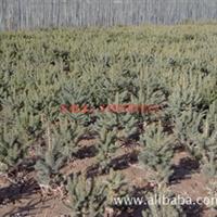 长期供应;云杉树苗,苗床小苗成活率可达百分之九十五以上