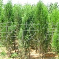 绿化占地用苗侧柏苗